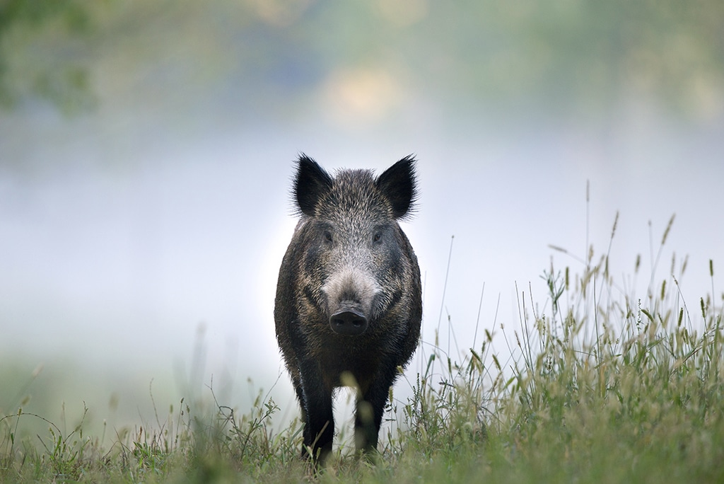 Wild pig in nature reserve The Veluwe