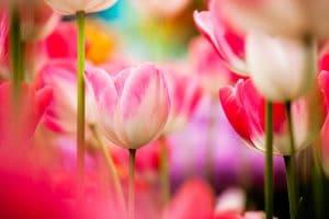 Flower Bulb Fields Forever….